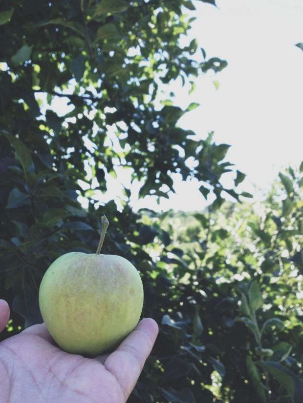lodi apple in orchard